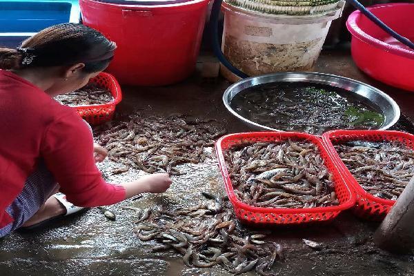 """Cà Mau: Giá tôm giảm mạnh, nông dân """"treo ao"""" vì thua lỗ"""