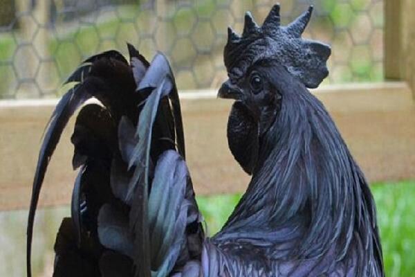 Giống gà màu đen đắt giá nhất thế giới