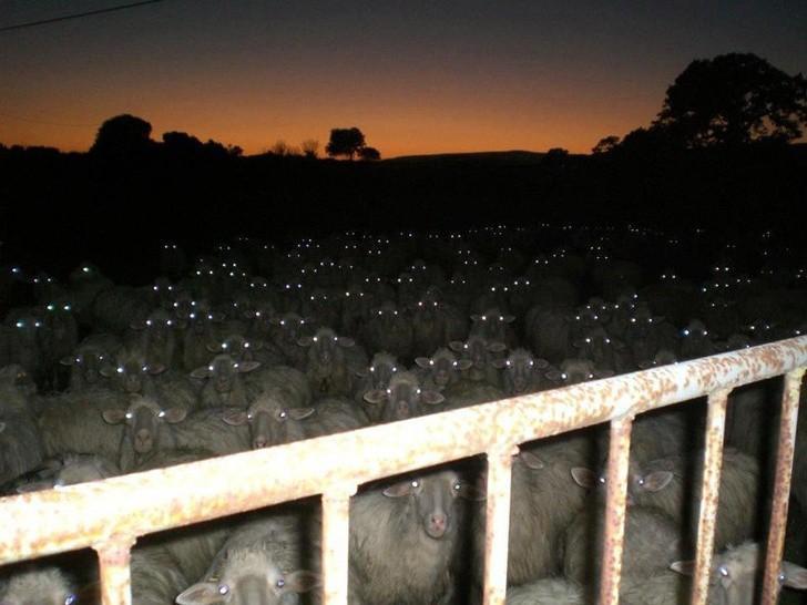 Bức ảnh được chụp tại một khu chăn nuôi cừu, khi mà toàn bộ các con trong bầy đều cùng lúc nhìn vào ánh đèn flash. Bị chừng này ánh mắt sáng rực nhìn thẳng vào mặt trong đem ắt hẳn không phải cảm giác dễ chịu gì cho cam.
