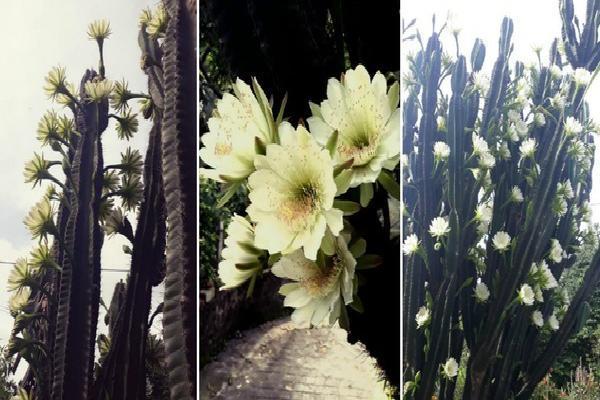 Cây xương rồng 30 năm tuổi bất ngờ nổi tiếng MXH vì nở hoa rực rỡ, ai nhìn cũng xuýt xoa mãi không thôi