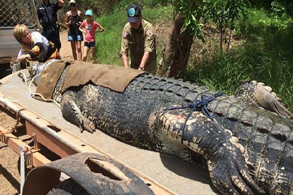 Australia bắt cá sấu khổng lồ sau 8 năm săn lùng