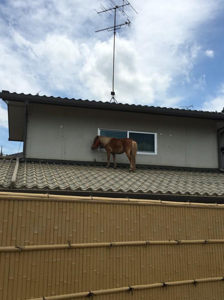 Nhân viên làm việc tại trung tâm điều trị lo sợ rằng cô ngựa Leaf 9 tuổi đã chết đuối sau trận lụt sau khi họ tổ chức một cuộc tìm kiếm quanh khu vực bị lũ quét nhưng không thể tìm thấy chú ngựa này. (Ảnh: Asia Wire)