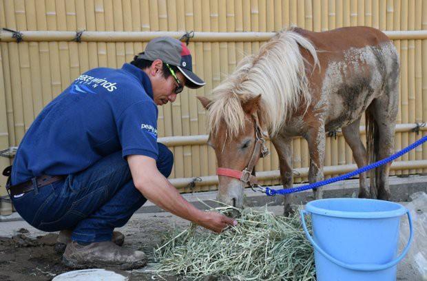 Bị bao phủ bởi bùn và bị thương ở một bên chân nhưng may mắn thay, cô ngựa Leaf không bị thương nặng. (Ảnh: Asia Wire)