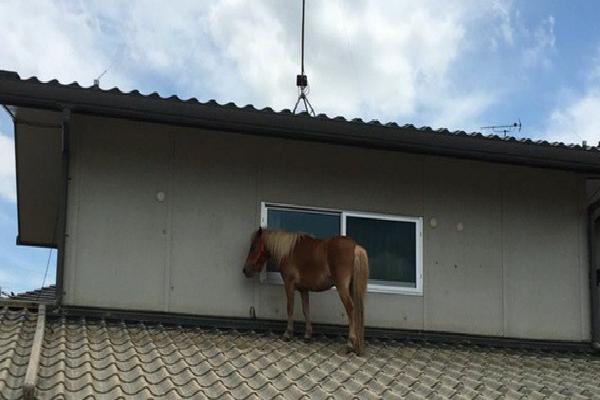 Chú ngựa đi lạc lên... mái nhà sau trận lũ quét ở Nhật Bản