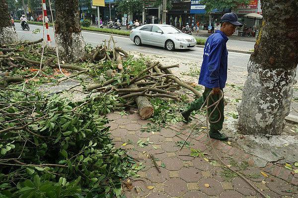 Hà Nội: Chặt hạ hàng loạt cây xanh để mở rộng đường Phạm Ngọc Thạch