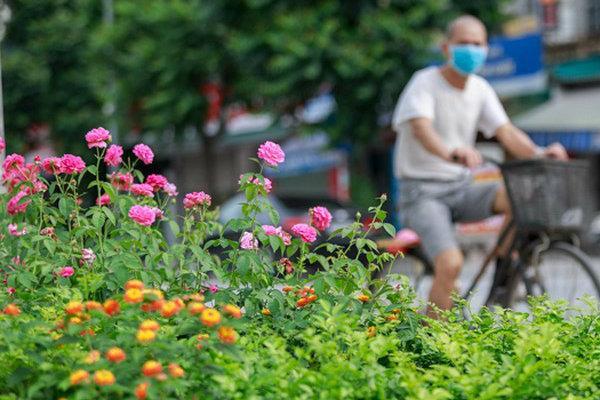 Hà Nội bỗng xuất hiện 'con đường hoa hồng' đầu tiên tuyệt đẹp