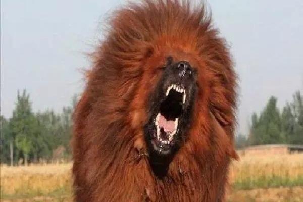Nổi tiếng trung thành nhưng hung dữ, chó ngao Tây Tạng thực sự nguy hiểm ra sao