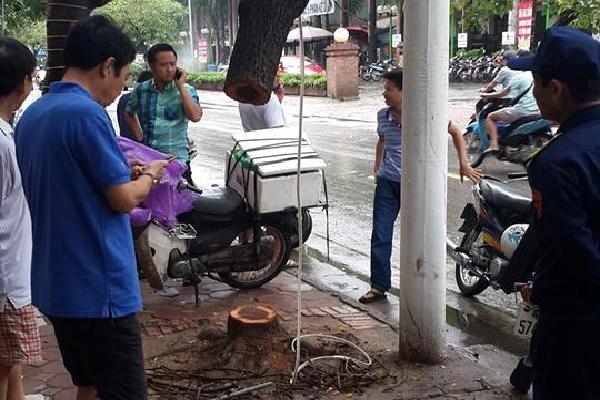 Một cây sưa đỏ bị cưa trộm trong đêm mưa bão ở Hà Nội