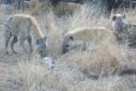 Trăn đá sợ hãi dâng xác khỉ cho bầy linh cẩu