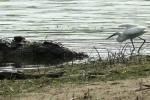 Cò trắng liều mình kiếm ăn ngay trước mõm cá sấu