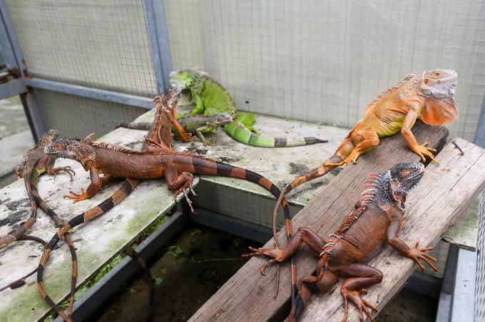 Rồng Nam Mỹ có nhiều loại nhưng hai loài thường được nuôi nhất là giống có màu xanh và đỏ. Trong chuồng thường được đặt khúc gỗ, cây khô để cho chúng dễ leo trèo theo bản năng.