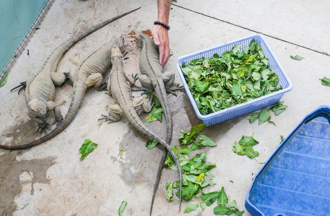 Theo anh Hoà, rồng Nam Mỹ dễ ăn, có thể ăn từ đồ sống tự nhiên hoặc thức ăn riêng cho chúng. Loài này thường ăn rau xanh, bí đỏ và trái cây.