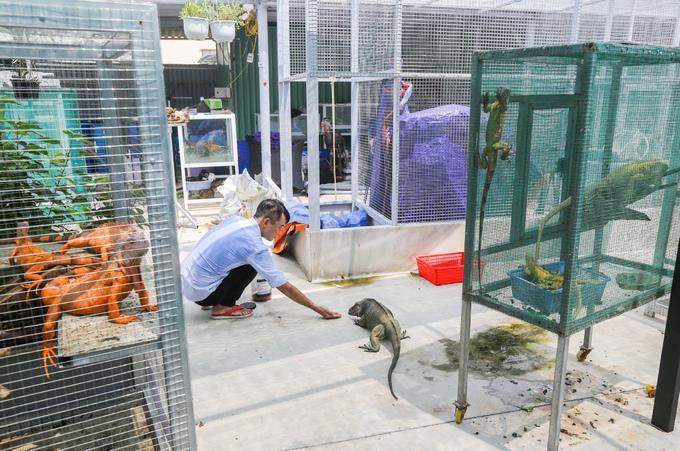 """Những con rồng Nam Mỹ được nuôi trong chuồng làm bằng lưới thép. Mỗi chuồng rộng khoảng 2 m2, mật độ trung bình 3- 5 con. """"Chuồng cần đặt ở nơi có ánh nắng chiếu vào thường xuyên vì loài này ưa nhiệt. Không nên nhốt chung hai con đực một chuồng, chúng sẽ tấn công nhau"""", anh Hòa cho biết."""