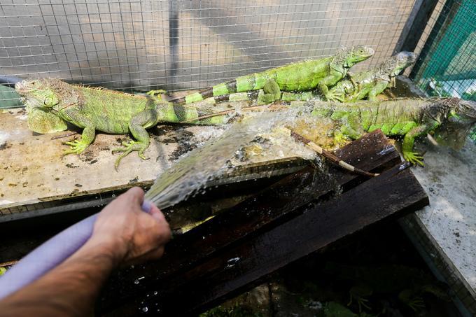 """""""Rồng Nam Mỹ trong tự nhiên sống ở những khu vực có hồ nước và bơi rất giỏi. Khi nuôi ta phải thường xuyên làm ẩm chúng hoặc cho ngâm mình trong nước"""", chủ trại chia sẻ."""