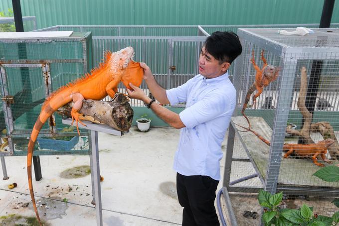 """Anh Dương Siếu Hòa (38 tuổi, quận Bình Tân, TP HCM) đang nuôi khoảng 150 con rồng Nam Mỹ trong trại rộng 500 m2. Loài này có tên khoa học là Iguana, sống ở các khu vực nhiệt đới Trung và Nam Mỹ.  """"Ở Việt Nam, phong trào nuôi rồng Nam Mỹ làm thú cưng đang dần phổ biến. Năm 2007 tôi có một cặp, rồi nhân giống cho chúng sinh sản. Từ đó tôi bắt đầu tìm hiểu cách làm trại, nuôi dưỡng loài này"""", anh Hòa cho biết."""