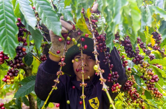 Hái cà phê thuê kiếm hơn 10 triệu đồng mỗi tháng ở Tây Nguyên