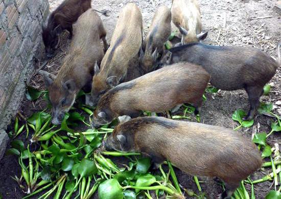 Bèo tây sẽ bị cấm không được sử dụng làm thức ăn chăn nuôi?
