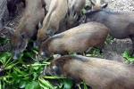 Quy định lợn không được ăn bèo tây, hoa chuối: Bộ Tư pháp vào cuộc