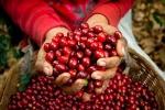 Thị trường giá nông sản hôm nay 18/3: Tuần mới giá tiêu, giá cà phê tăng mạnh