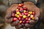 Thị trường giá nông sản hôm nay 19/3: Giá tiêu tăng, giá cà phê giảm nhẹ