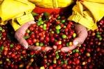 Thị trường giá nông sản hôm nay 20/3: Giá cà phê tăng mạnh, giá tiêu đi ngang