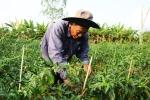 Ớt đầu mùa tăng giá lên 30.000 đồng một kg