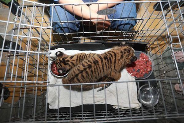 Bắt 2 đối tượng vận chuyển 2 con hổ con quý hiếm còn sống