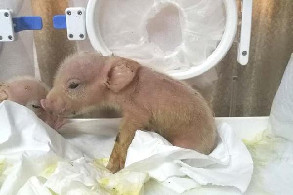 Trung Quốc vừa tạo ra lợn khỉ