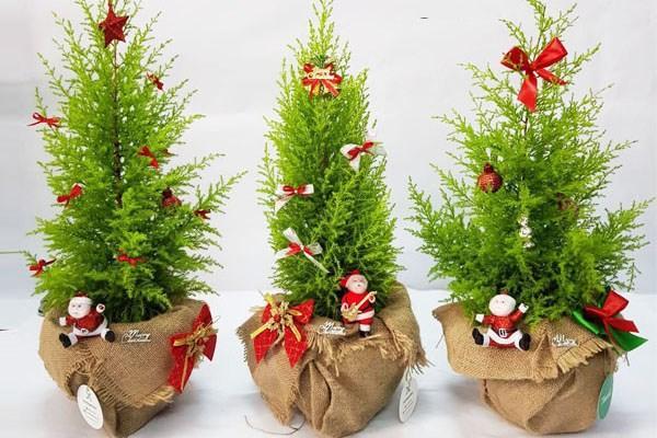 Sự thật 'ngã ngửa' ít người ngờ về cây thông Noel giá rẻ cực hot