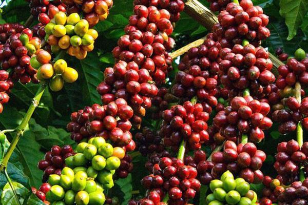 Giá cà phê hôm nay 9/12: Tăng mạnh 300 đồng/kg trên toàn Tây Nguyên