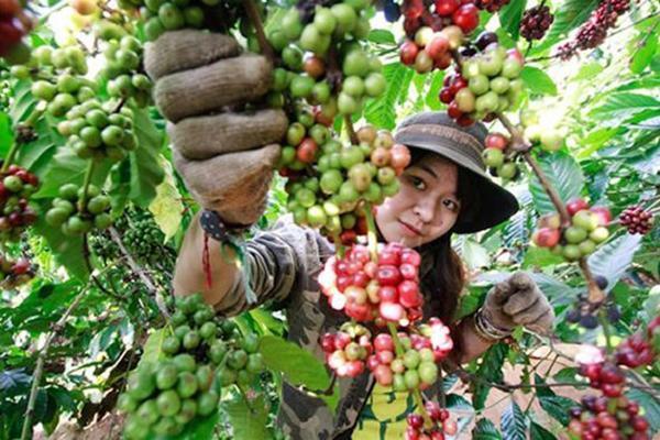 Giá cà phê hôm nay 11/12: Bất ngờ tăng phi mã 800 đồng/kg