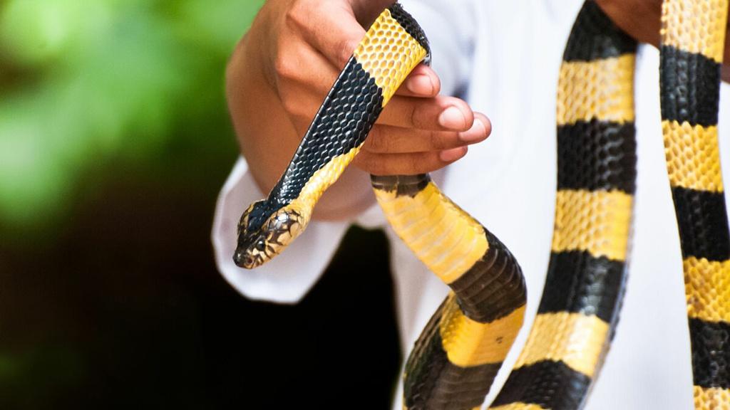 Khi bị rắn độc cắn, nạn nhân cần được sơ cứu cơ bản và đến cơ sở y tế gần nhất. Ảnh: Sputniknews.