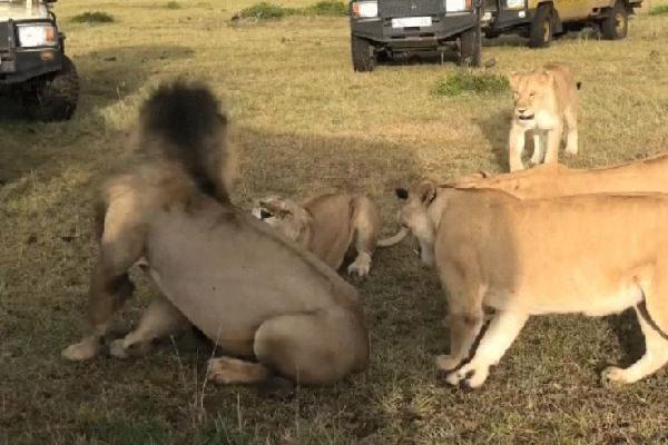 Clip: 4 sư tử cái hùa nhau đánh đuổi sư tử đực trước mắt du khách