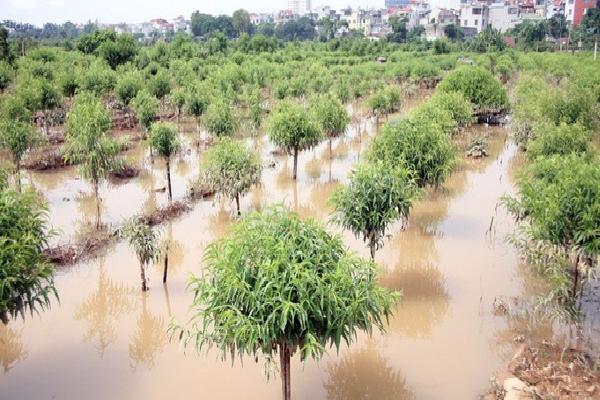 Hà Nội: Nước sông Hồng dâng cao, nông dân trồng đào lo ngay ngáy vì hàng nghìn gốc đào bị ngập úng