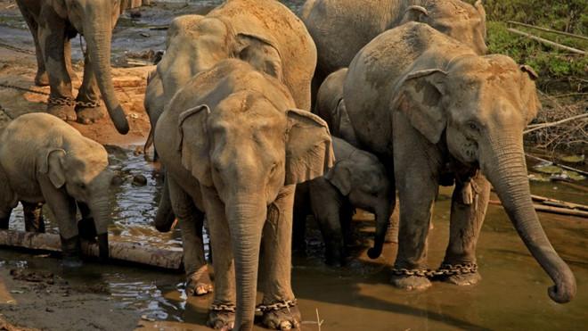 Chợ trực tuyến Trung Quốc đang 'giết' đàn voi Myanmar