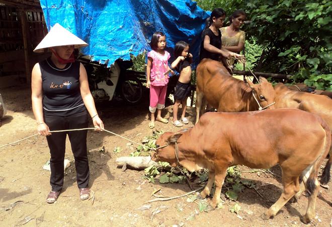Cấp bò giống bị lở mồm long móng cho nông dân