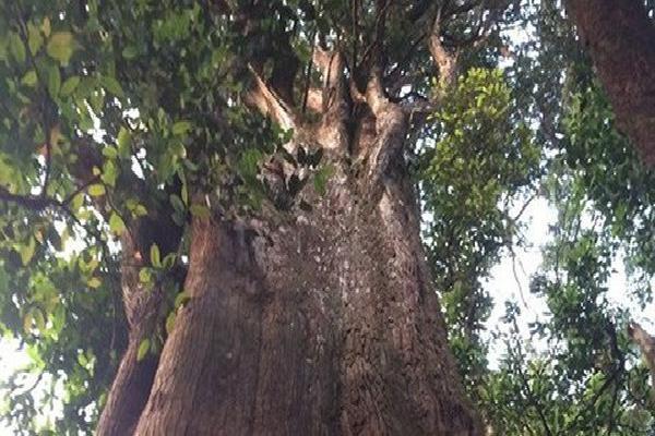 Hà Tĩnh: Bất ngờ phát hiện quần thể cây pơ mu 'khủng' khoảng 1000 năm tuổi