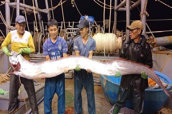 Ngư dân Việt bắt được cá hố khổng lồ 4 người mới nhấc lên nổi