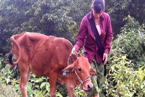Nghệ An: Nộp 4 triệu đồng, người dân được cấp bò… lở mồm long móng